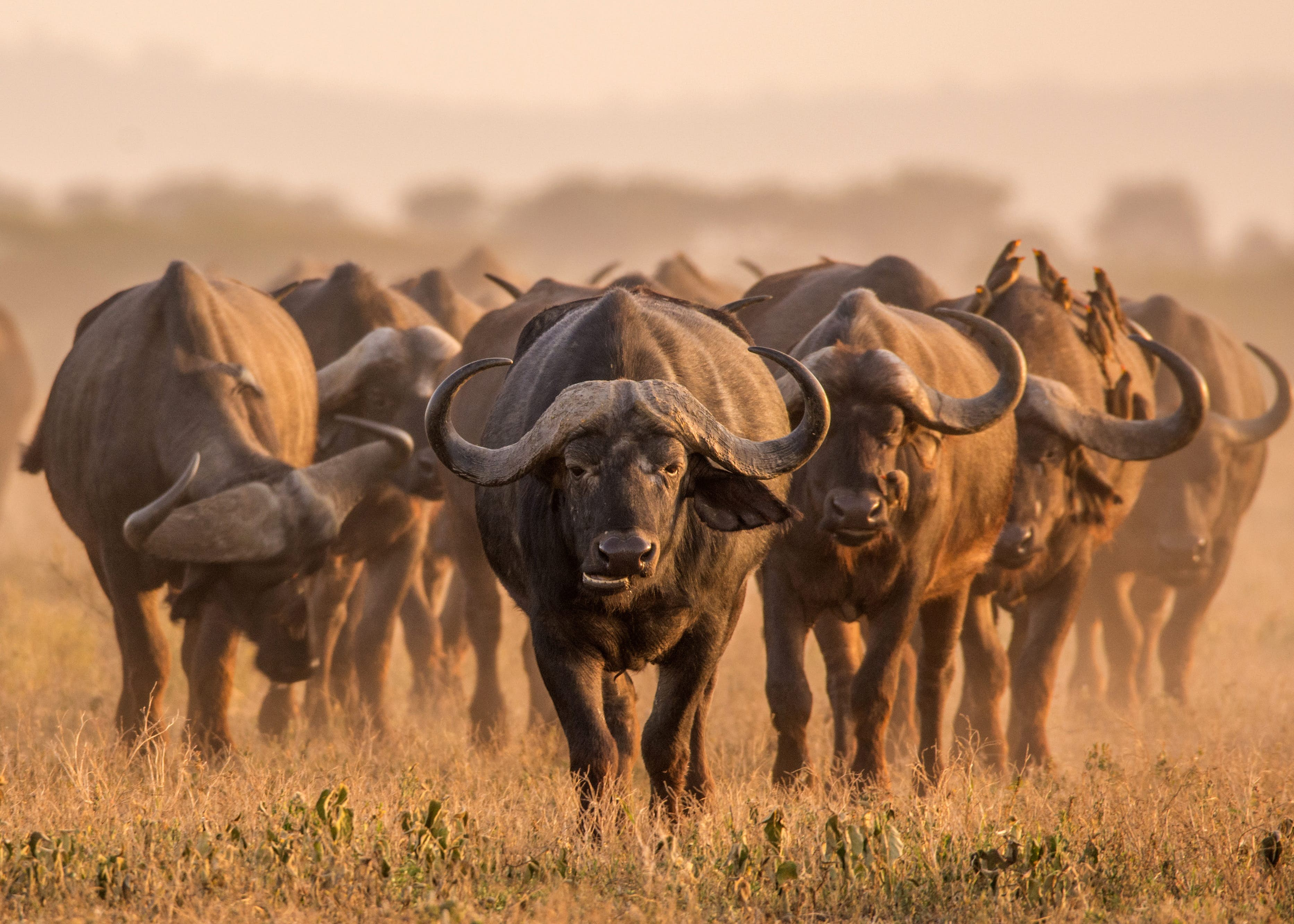 Cape buffalo are a common, if intimidating, sight in South Africa's wildlife-rich national parks © MHGALLERY / iStockphoto / Getty Images